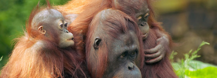 Mother orangutan and babies found in Orang Utan Sanctuary Borneo