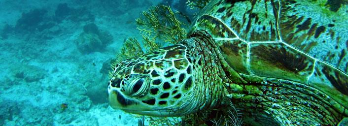 Sea turtle Sipadan in Sabah Borneo