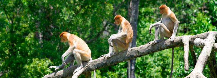 Proboscis monkeys in the mangrove, Kota Kinabalu, Malaysia
