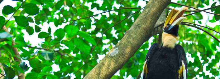 Great hornbills, found in Malaysian Rainforest, Sabah